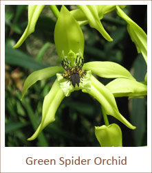 Green-Spider-Orchid-bush-flowers